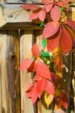 Boston ivy, Grape ivy. Stock Images