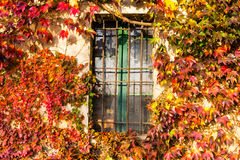Boston ivy and iron grate window Royalty Free Stock Photo