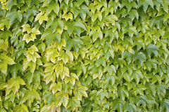 Boston ivy, japanese creeper. Grape ivy, boston ivy, parthenocissus tricuspidata, vitaceae Stock Image