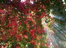 Boston ivy leaves. With sunny rays Stock Images