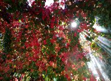 Boston ivy leaves. With sunny rays Stock Photography