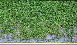 Boston ivy. A lot of beautiful boston ivy Stock Photo