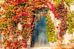 Boston ivy and old door. Red, green and orange leaves of a Boston ivy or parthenocissus tricuspidata veitchii  in autumn framing and surrounding an old grunge Royalty Free Stock Image