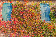 Boston ivy and old windows Stock Photography