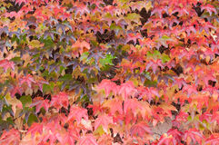 Boston Ivy (Parthenocissus tricuspidata) Stock Image