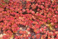Boston Ivy (Parthenocissus tricuspidata) Royalty Free Stock Photography