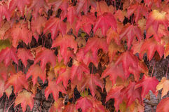 Boston Ivy (Parthenocissus tricuspidata) Stock Photo
