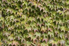 Boston Ivy. Parthenocissus-tricuspidata Royalty Free Stock Photography