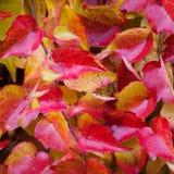 Boston Ivy - Parthenocissus tricuspidata full of color in autumn Stock Images