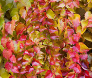 Boston Ivy - Parthenocissus tricuspidata full of color in autumn Royalty Free Stock Photography