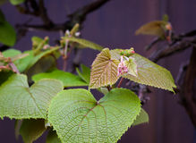 Boston ivy Parthenocissus tricuspidata young vine leaves Royalty Free Stock Image