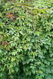 Boston ivy. Parthenocíssus quinquefolia, Partenocissus tricuspidata Stock Photo