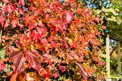 Boston Ivy Royalty Free Stock Photos