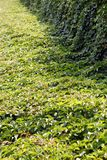 Boston ivy in summer Stock Images