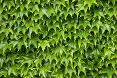 Boston ivy texture Royalty Free Stock Image