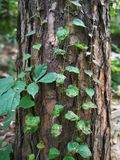 Boston ivy on the tree trunk Royalty Free Stock Photos