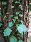 Boston ivy on the tree trunk Stock Photos