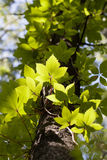 Boston ivy - tree trunk Stock Image