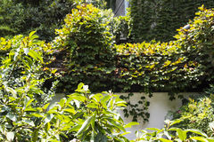 Boston ivy in wall Stock Photos
