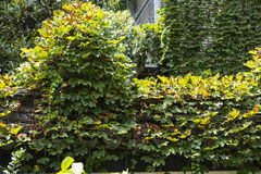 Boston ivy in wall Stock Images