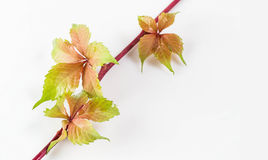Boston ivy Stock Photo