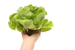 Boston lettuce Stock Photos