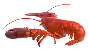 Boston lobster isolated on white Stock Photography