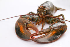 Boston lobster Royalty Free Stock Photo