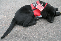 Boston 2013 Marathon Memorial Service Puppy at Boylston royalty free stock image