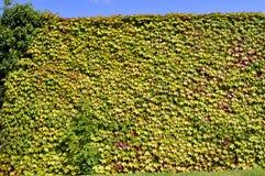 Boston murgröna Arkivbild