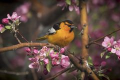 Boston oriole bird. A boston oriole bird in a flowering crab apple tree in spring royalty free stock image