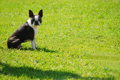 Boston in the Park. Purebred boston terrier sitting on grass Stock Photos
