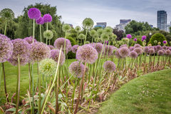 Boston Public garden. Late summer picture taken in Boston public garden featuring downtown Boston and bright purple flowers in the foreground Royalty Free Stock Photos