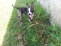 Boston Rat terrier/Chihuahua stock photos