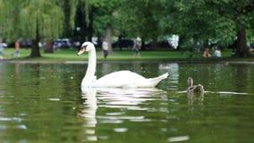 Boston Swan and cygnet Royalty Free Stock Photo