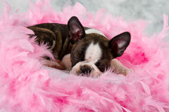 Boston teriera szczeniaka sen obraz royalty free