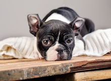 Boston Terrie Puppy Royalty Free Stock Photography