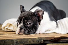 Boston Terrie Puppy Stock Photography