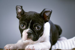 Boston Terrie Puppy Royalty Free Stock Image