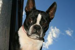 Boston Terrier 1. A boston terrier looking tough Stock Photo