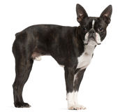 Boston Terrier, 1 year old, standing Stock Photos