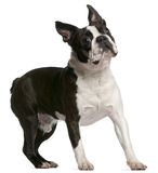 Boston Terrier, 1 year old, standing Royalty Free Stock Photo