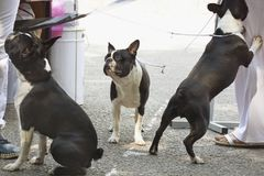 Boston-terrier Arkivfoto