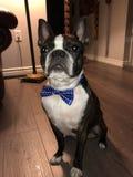 Boston Terrier imagem de stock royalty free
