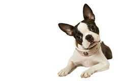 Free Boston Terrier Royalty Free Stock Images - 16464969