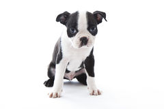 Boston Terrier Stock Photography