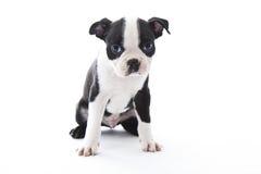 Boston Terrier. Male baby Boston Terrier on white, horizontal stock photography