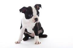 Boston Terrier. Male baby Boston Terrier on white, hozitontal stock image