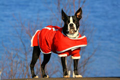 Boston-Terrier Lizenzfreies Stockbild