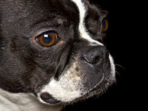 Boston Terrier Stock Afbeelding